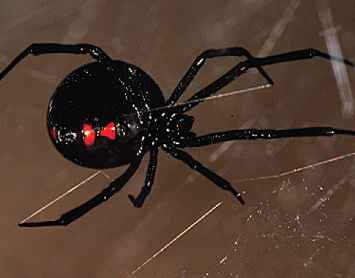 black widow spider in Arizona