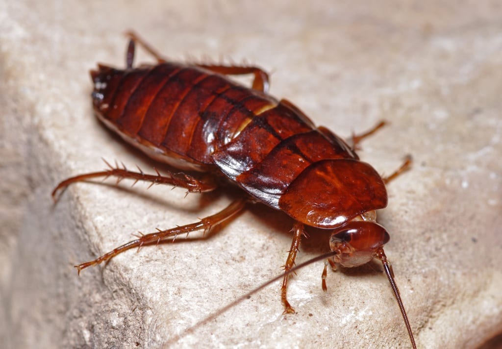 Oriental Cockroach Bug Guardian Pest Prevention
