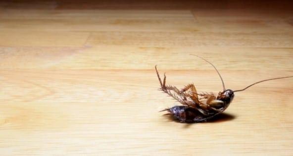 cockroach common pest