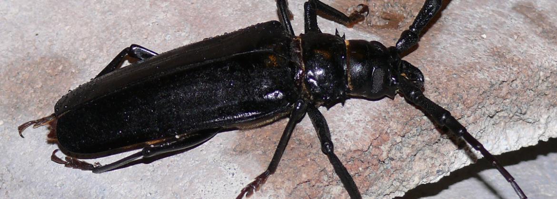 Palo Verde Beetles