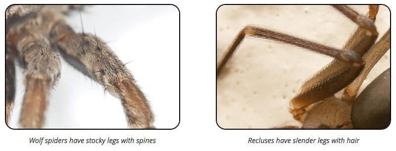 brown recluse wolf spider legs
