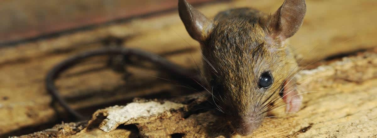 Common Arizona Rodents