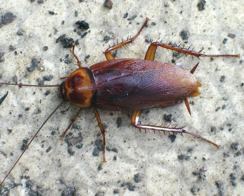 Sewer Roaches in Arizona