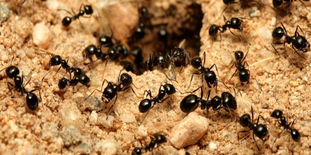 Little Black Ant Removal