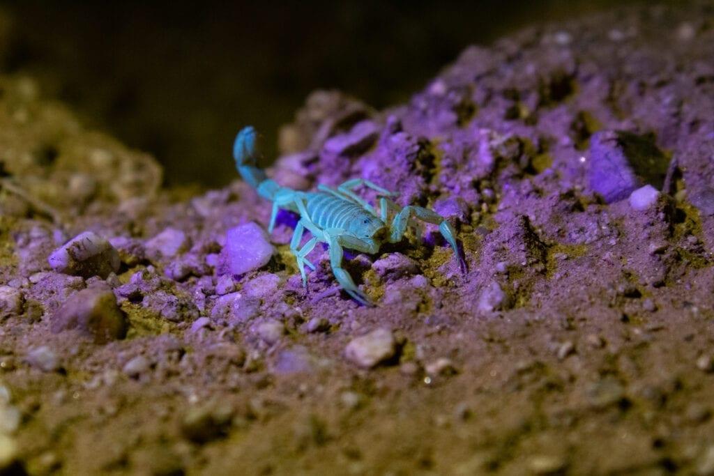 Bark Scorpion Under Black Light