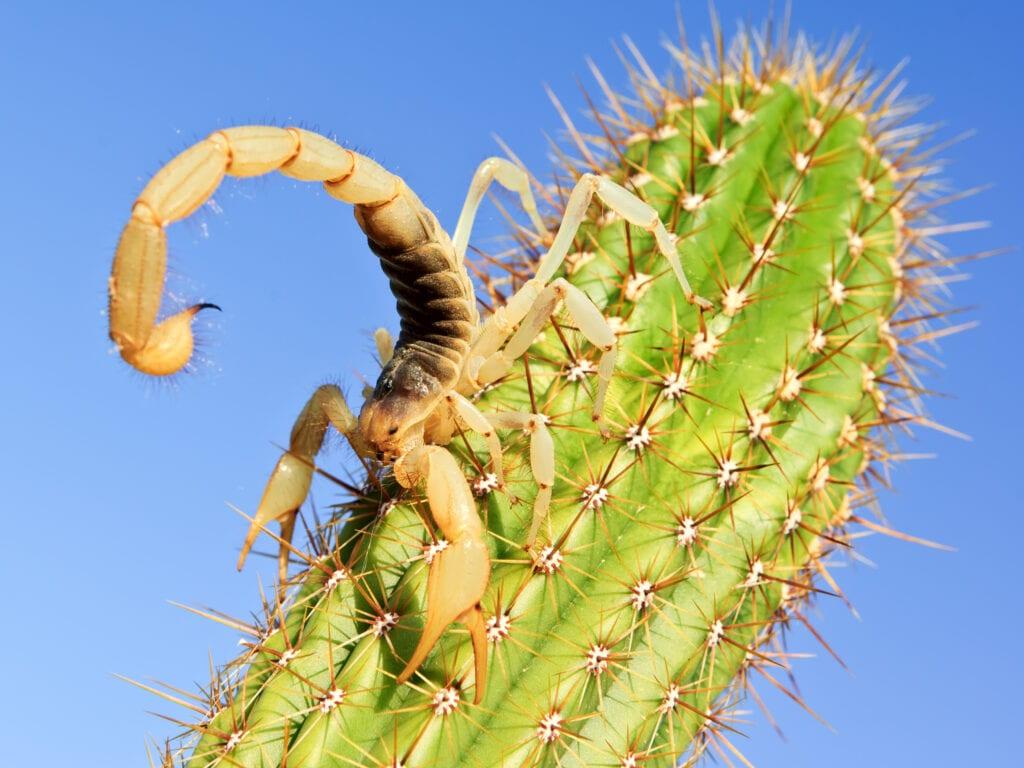 Giant Hairy Desert Scorpion