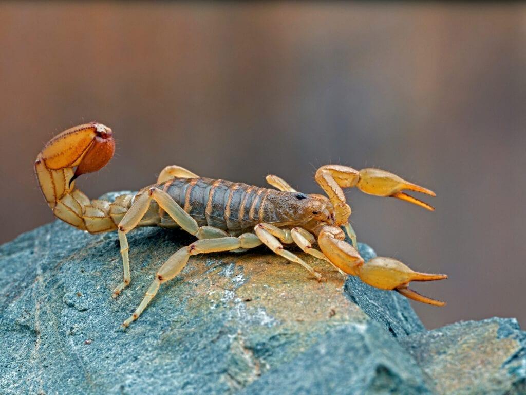 Stripe Tailed Scorpion